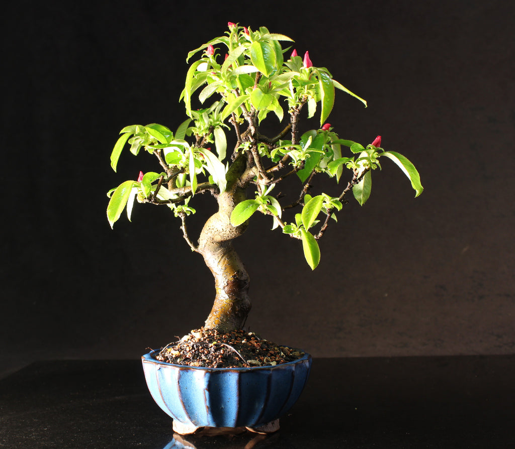 Japanese Flowering Quince shohin bonsai tree 34 cm in fluted ceramic pot