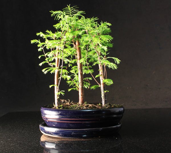 Metasequoia (Dawn Redwood) 20-25cm Forest Bonsai in oval ceramic pot