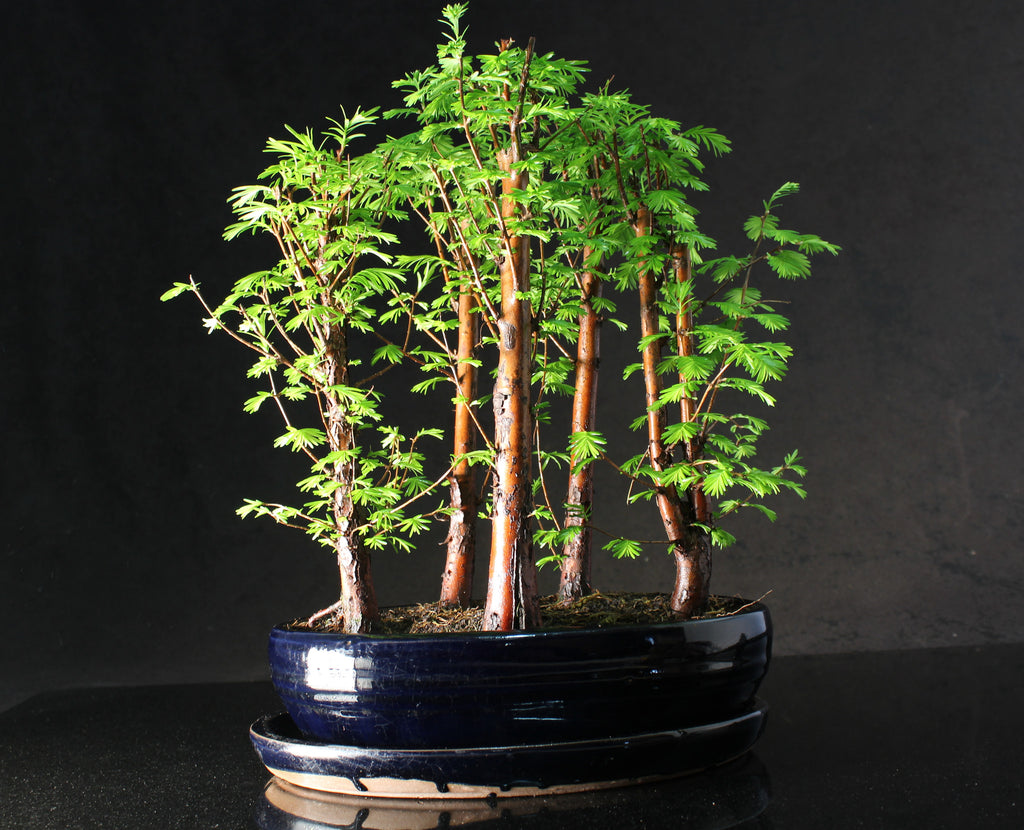Metasequoia (Dawn Redwood) 30-35cm Forest Bonsai in oval ceramic pot