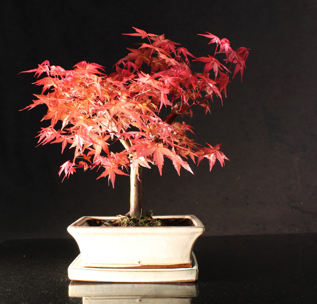 Japanese Maple 35-40 cm Bonsai tree in ceramic pot with Drip tray