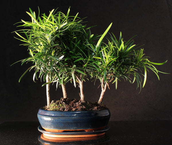 Podocarpus or Chinese Yew Forest Bonsai Tree - 40-45cm