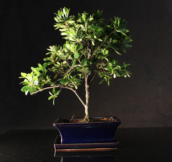 Azalea Flowering Bonsai Tree - 30-35cm - S trunk