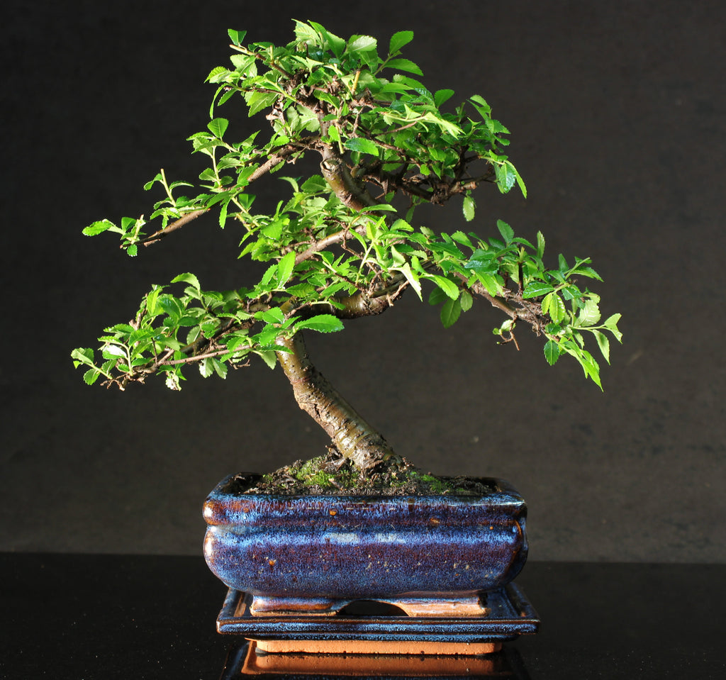 Chinese Elm S trunk Bonsai Tree 25-30cm with blue ceramic pot and drip  tray