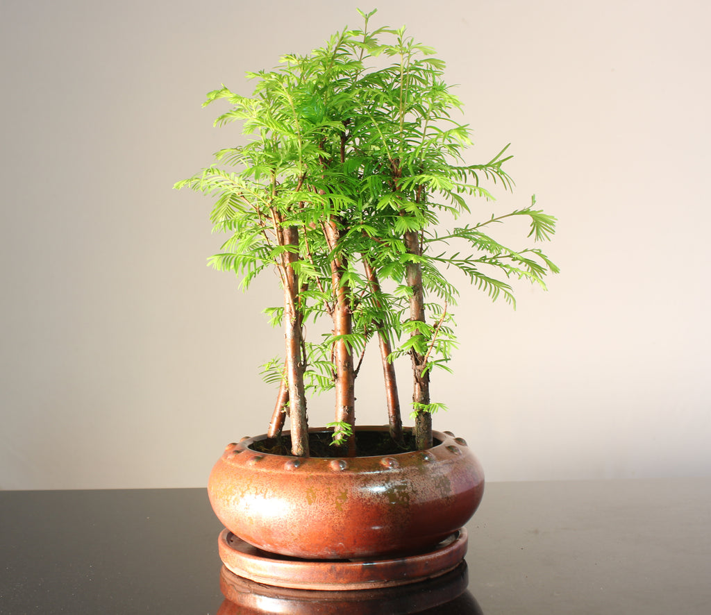 Metasequoia (Dawn Redwood) 30-35cm Forest Bonsai in round ceramic drum pot