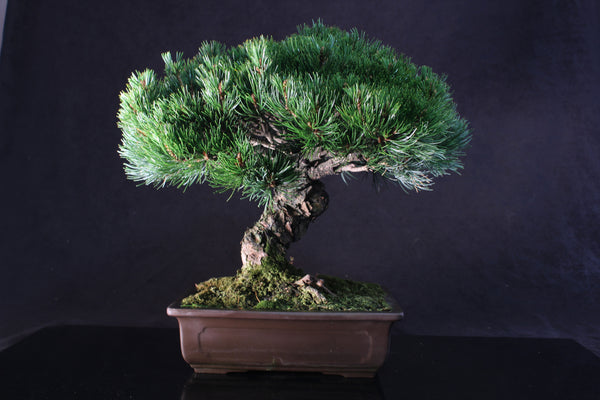 Specimen Imported White Pine Bonsai Tree - 42 cm
