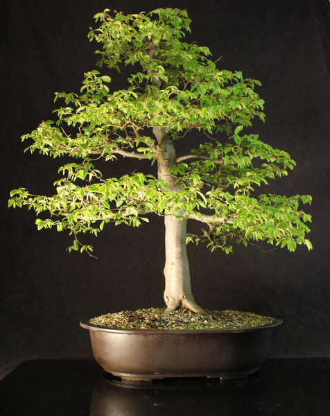 Specimen European Hornbeam Bonsai Tree- 85 cm