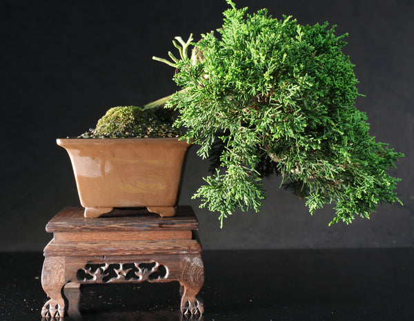 Specimen Shohin Semi cascade Juniper Bonsai Tree- 20 cm