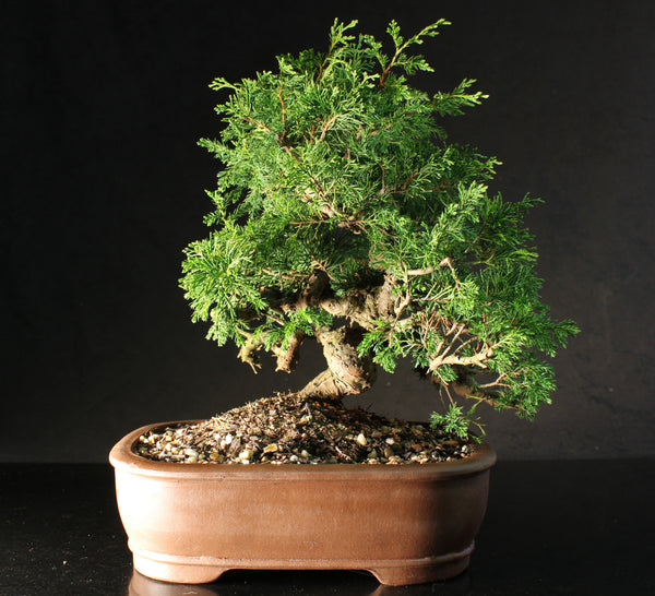 Superb Quality Chinese Juniper Bonsai Tree Material - 35 cm