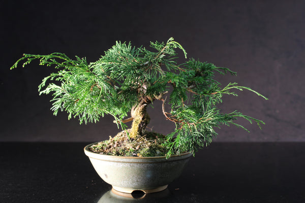Superb Quality Chinese Juniper Bonsai Tree Material - 20 cm
