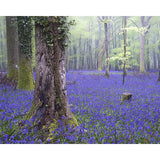 Bluebell Wood Wall Mural
