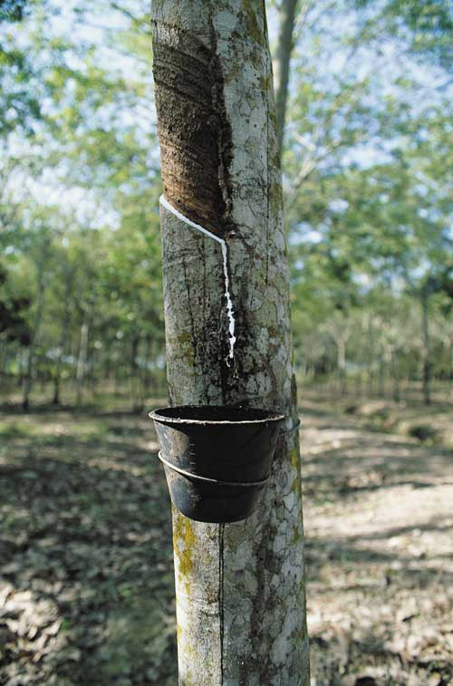 Natural latex rubber tree