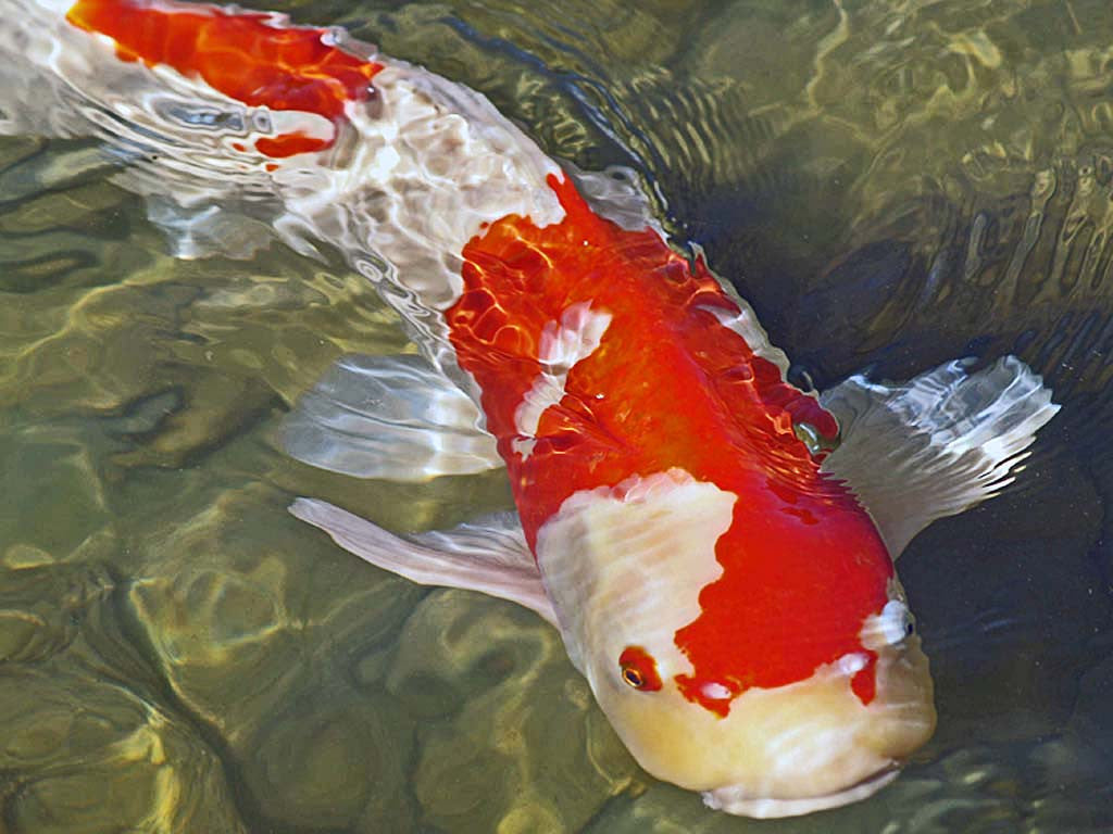 Koi fish texture mold for glass tile or dish the avenue for Koi fish mold