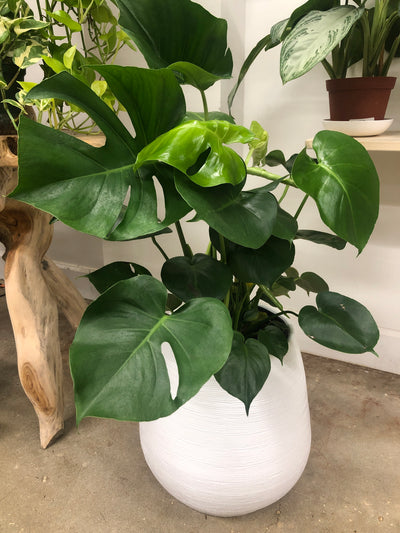 Monstera Deliciosa Swiss Cheese - 10""