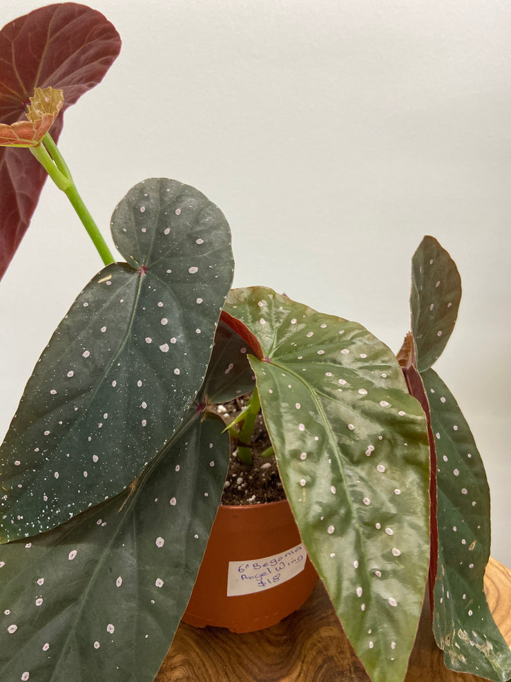 Angel Wing Begonia - 6""