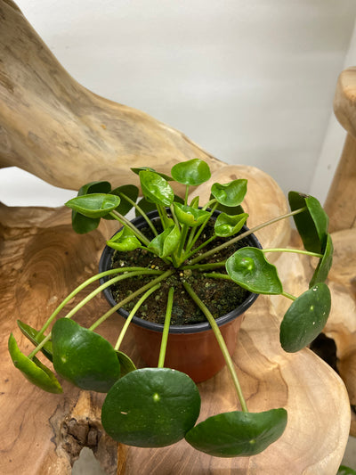 Chinese Money Plant - 4""