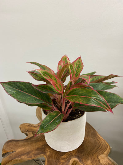 "Red Aglaonema Creta- 6"" planter pot"