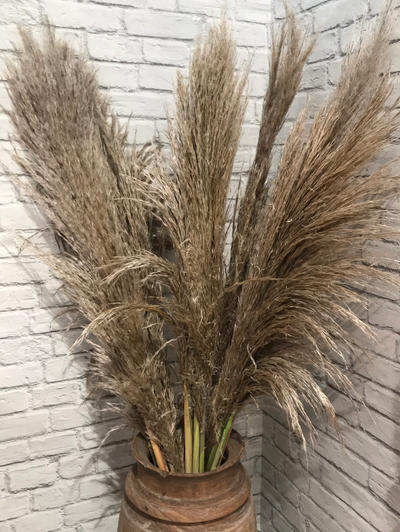 Pampas Grass Fresh