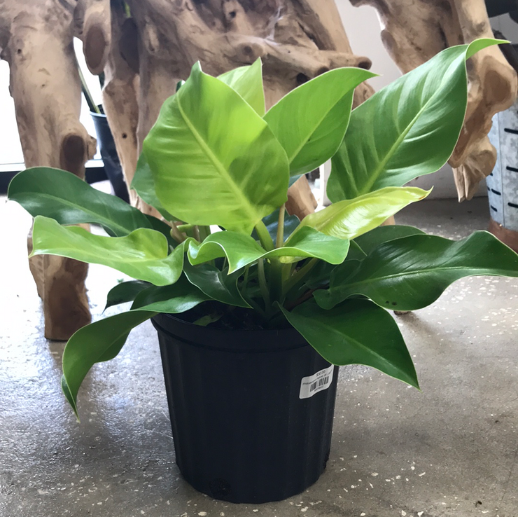 Philodendron Hybrid- 8""