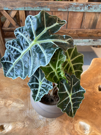 Alocasia Elephant Ear - 6""