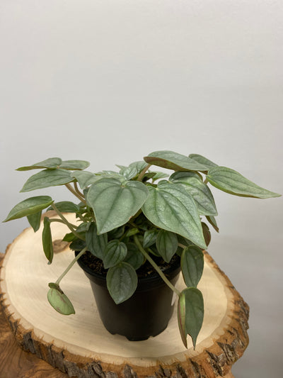 "Peperomia Napoli Nights - 4"" planter pot"