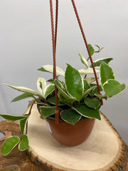 "Hoya - 6"" Hanging Basket"