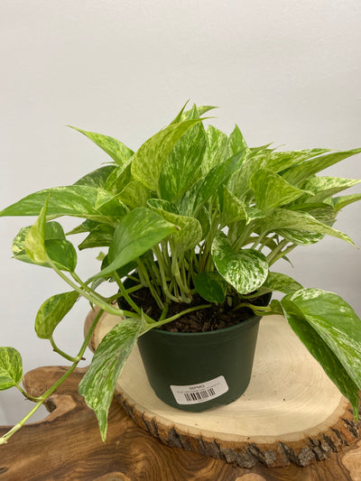 "Pothos Marble Queen - 6"" planter pot"