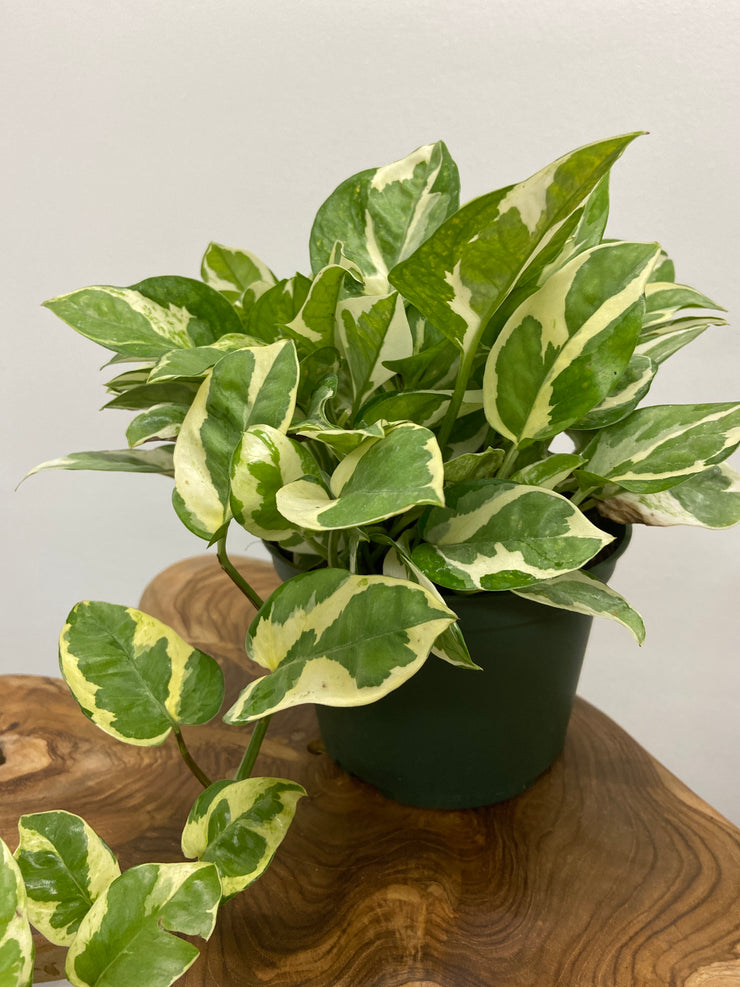 "Pothos Jade and Pearl - 6"" planter pot"