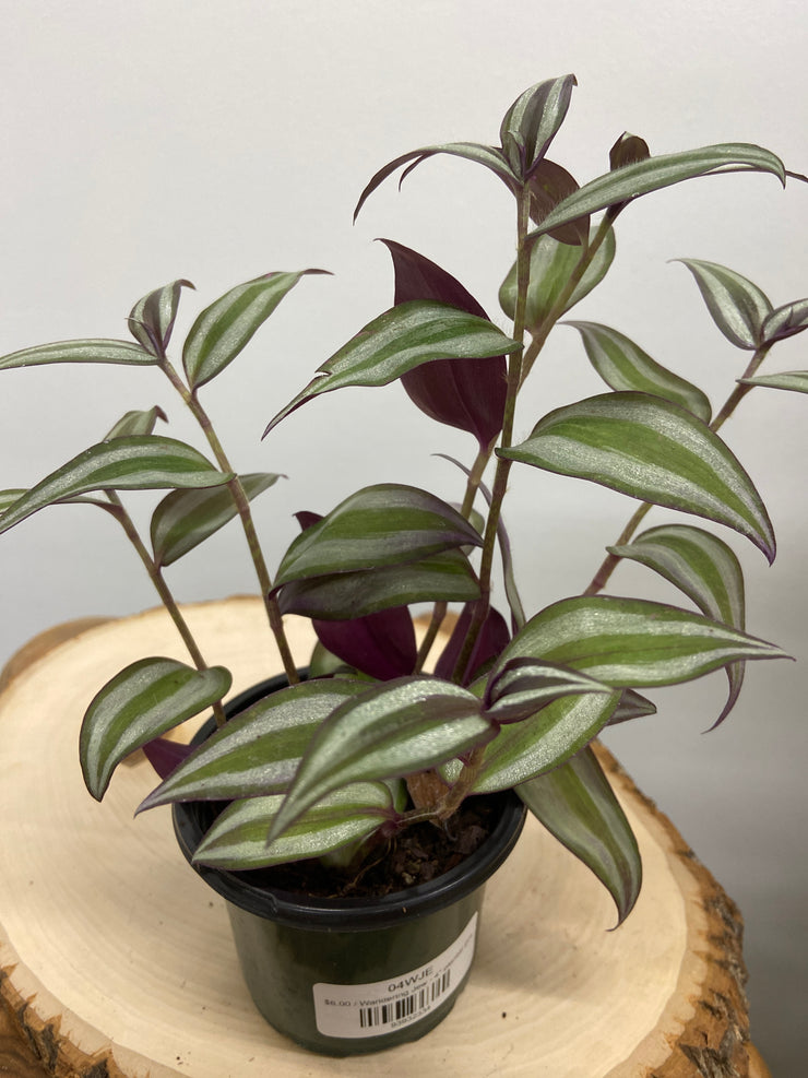 "Wandering Jew - 4"" planter pot"