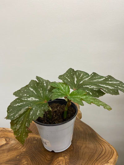 Angel Wing Begonia - 5""