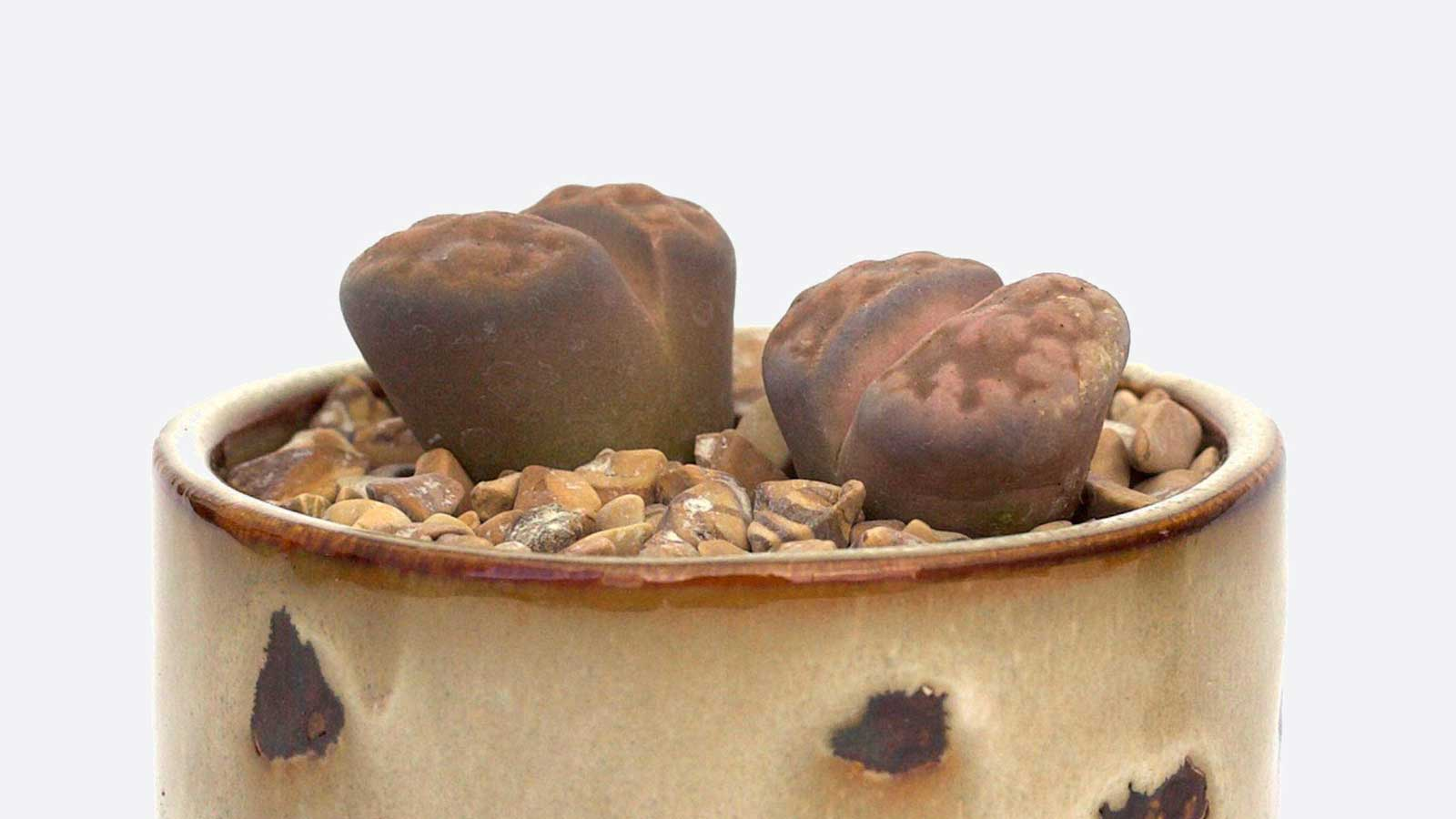 Caring For Your Succulent Lithops Leaf Clay