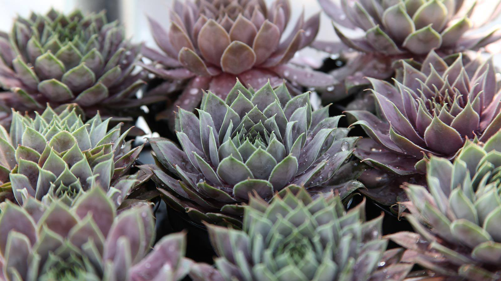 How to care for Sempervivum