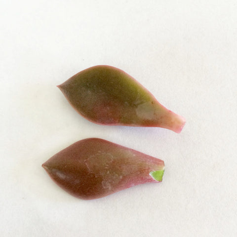 good and bad succulent leaf cuttings