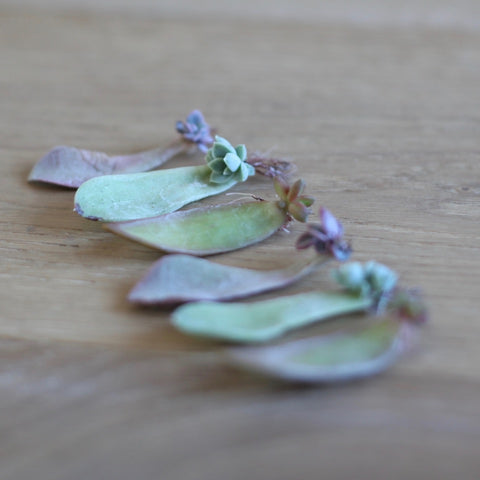 succulent leaf cuttings