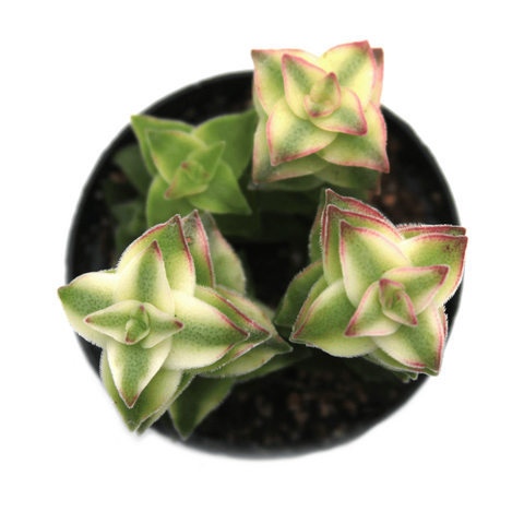 Crassula perforata variegata, Variegated 'String of Buttons' Succulent Plant