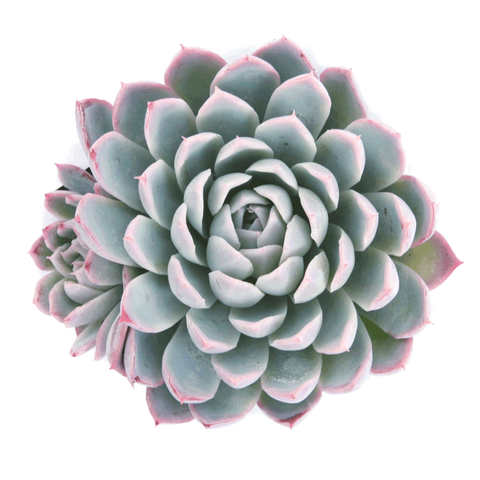 Echeveria 'Violet Queen' succulents