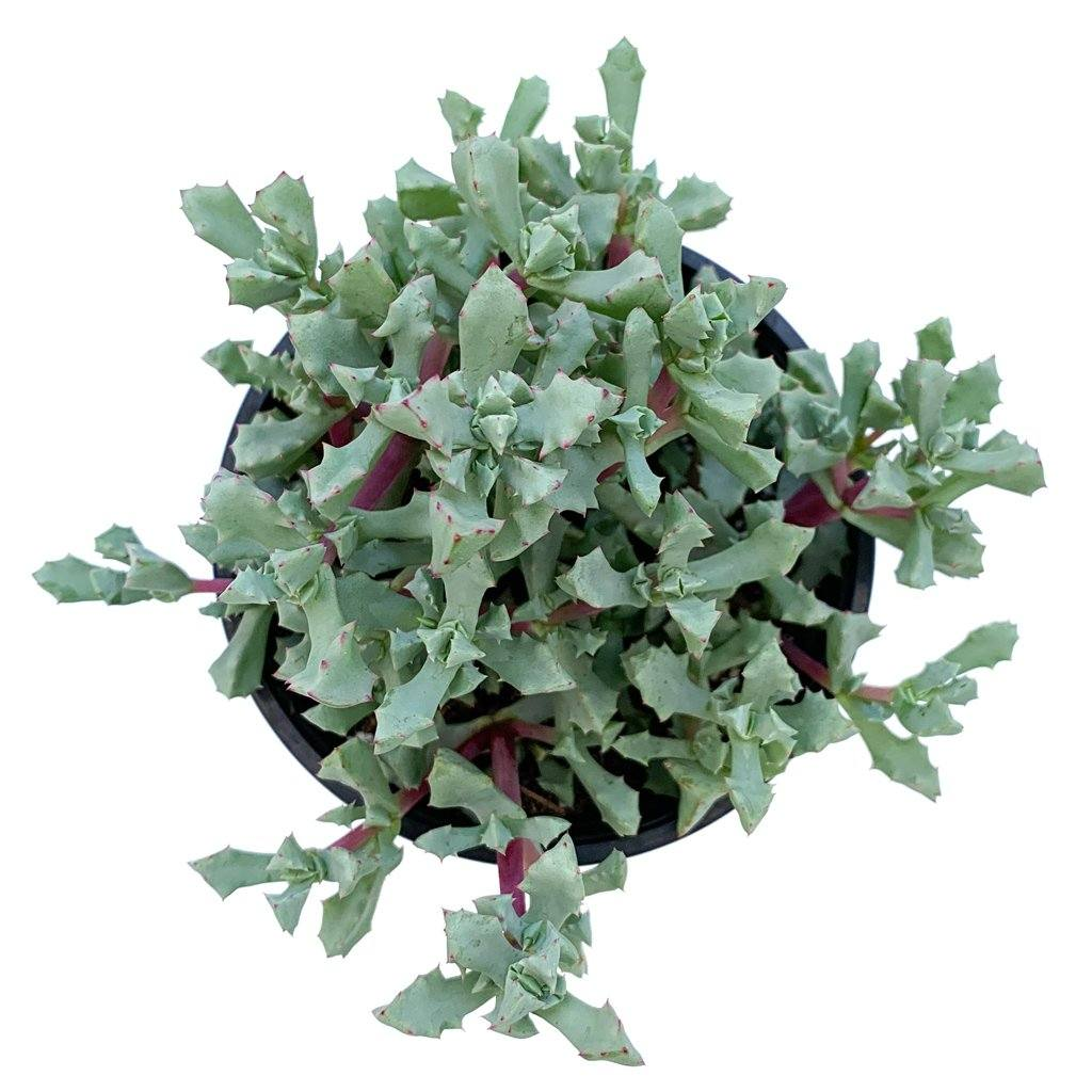 Oscularia deltoides 'Pink Ice Plant'
