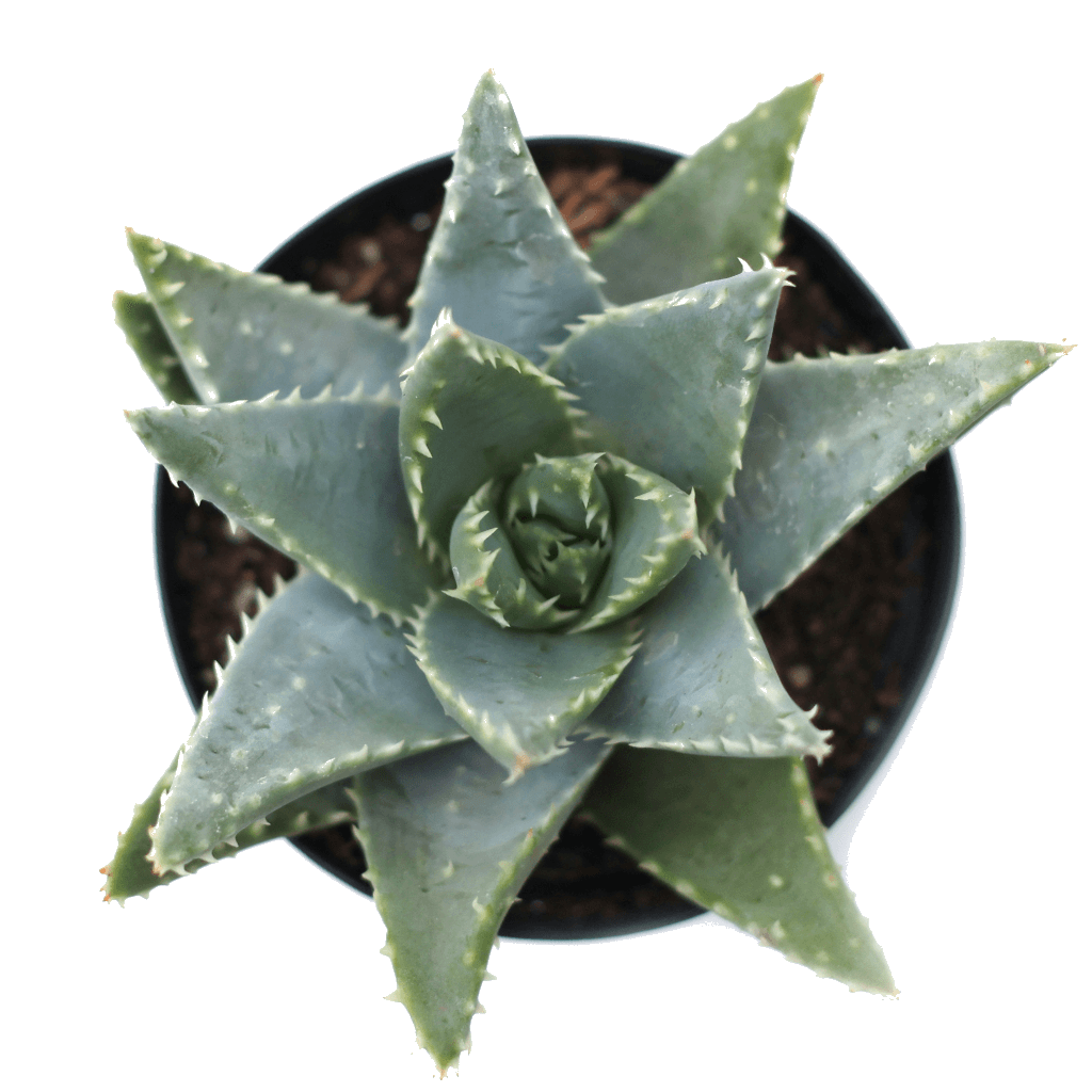 Succulents Leaf Amp Clay