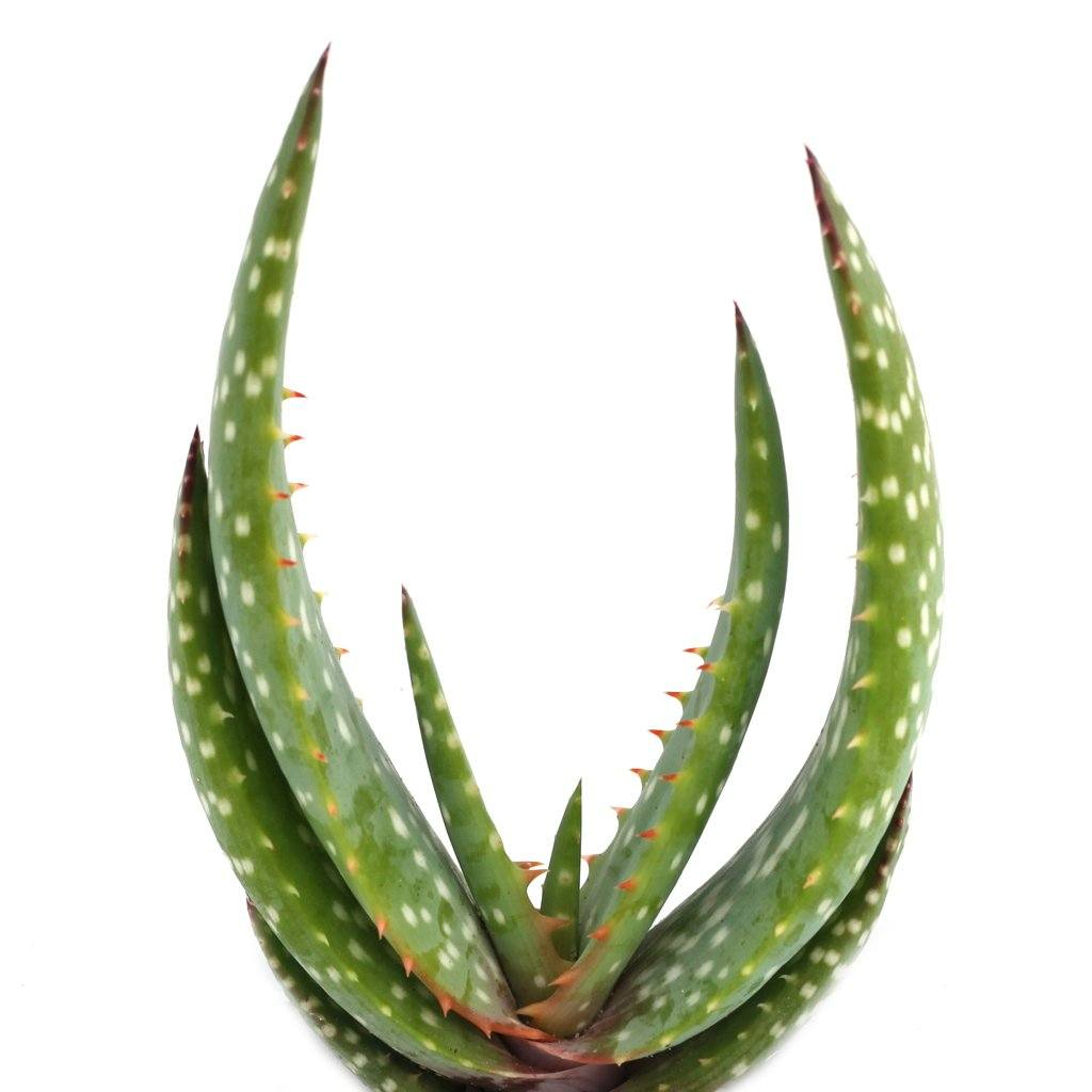 Aloe gariepensis