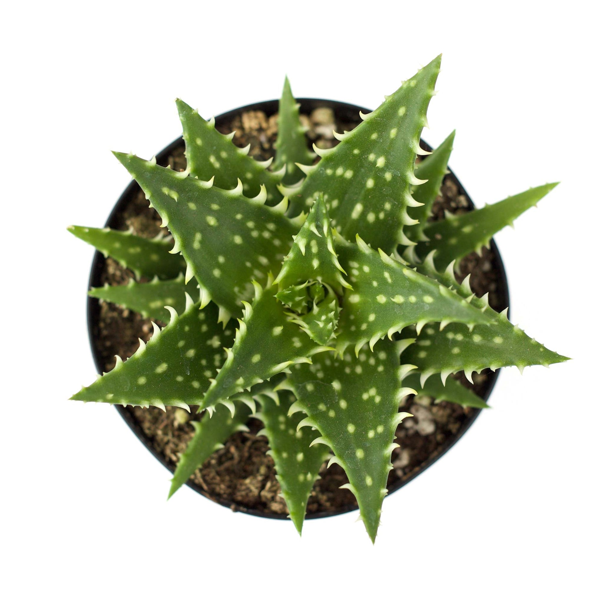 Aloe 'Minnie Belle'
