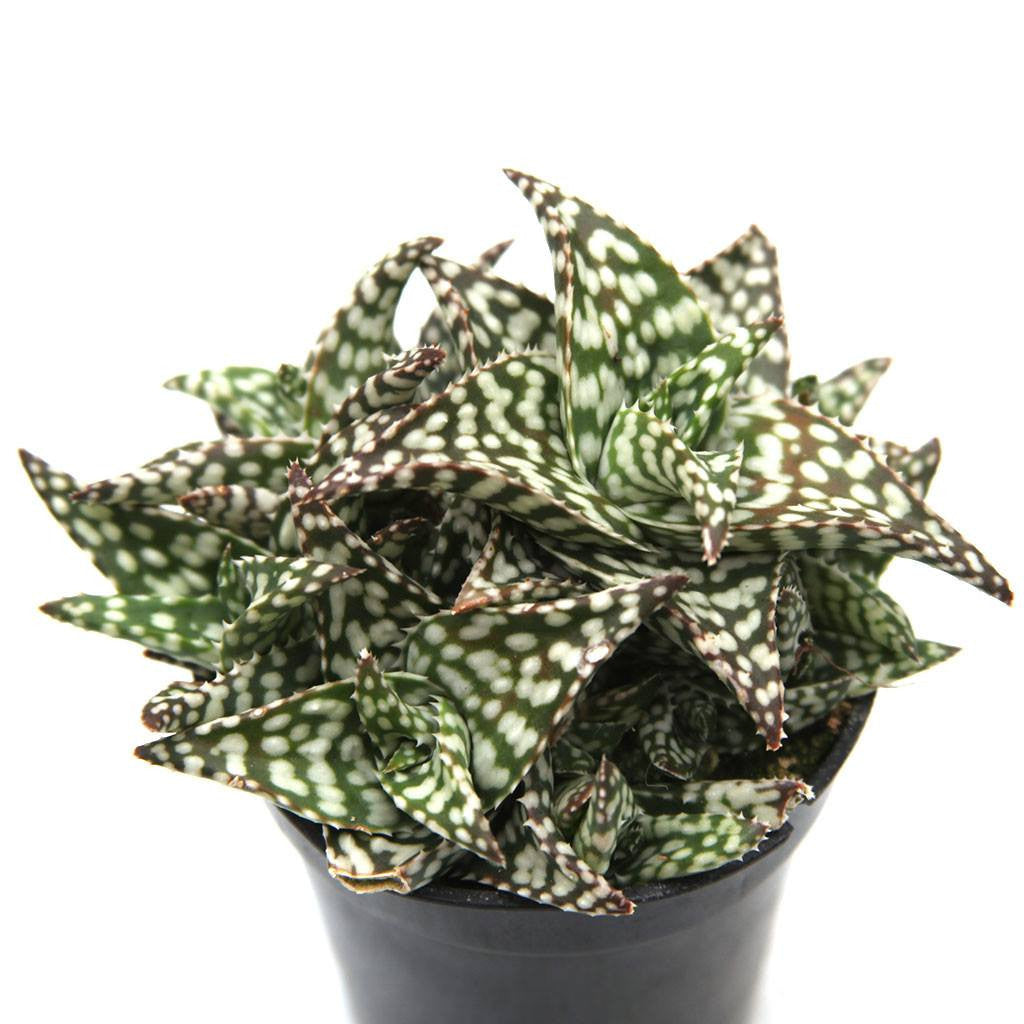 unbelievable house plant with green and pink leaves. Aloe Snowstorm All Plants Leaf Clay  unbelievable house plant with green and pink The Best 100 Unbelievable House Plant With Green And Pink Leaves