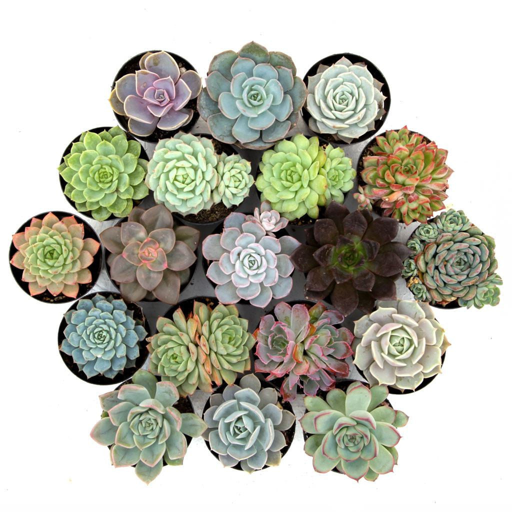 'Awesome Echeveria™' Pack