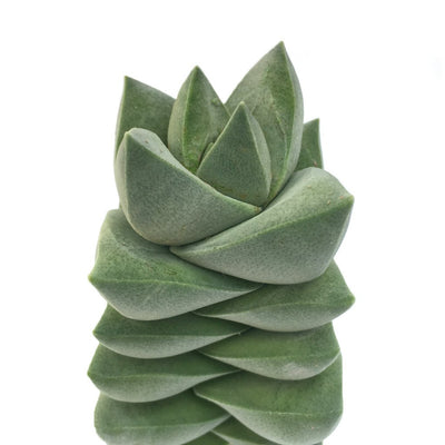 Crassula 'Moonglow' Succulent Plant