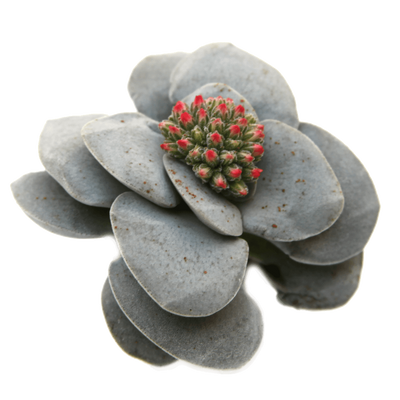 Crassula 'Morgan's Beauty' Succulent Plant