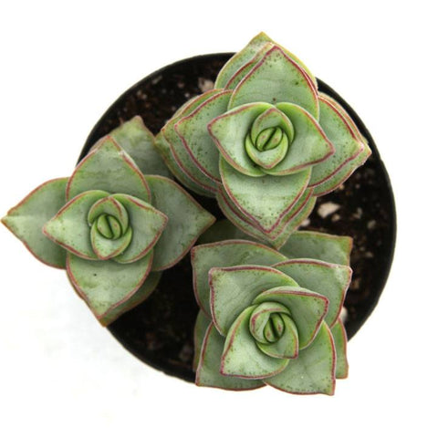 Crassula perforata 'String of Buttons' Succulent Plant