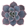 Echeveria 'Afterglow' Succulent Plant