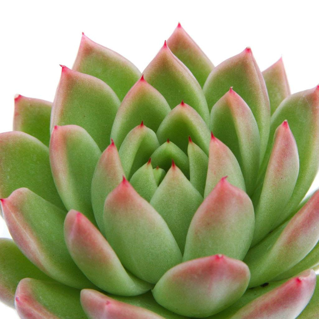 echeveria agavoides red tips leaf clay