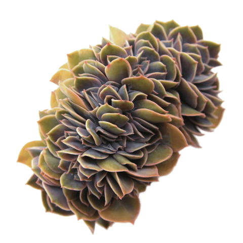 Echeveria 'Cassyz Winter' Cristata