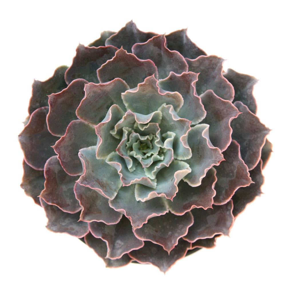 Echeveria 'Domingo' Succulent Plants