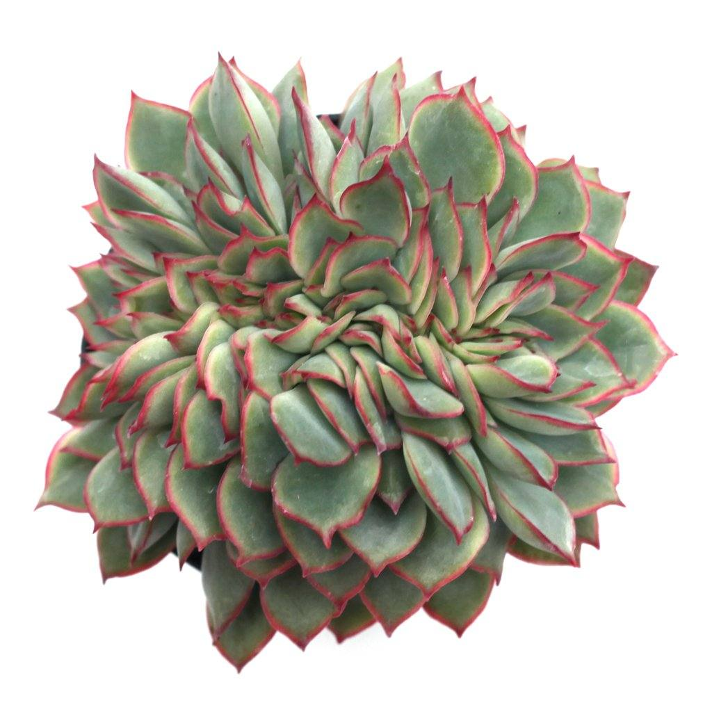 Echeveria 'Esther' Cristata