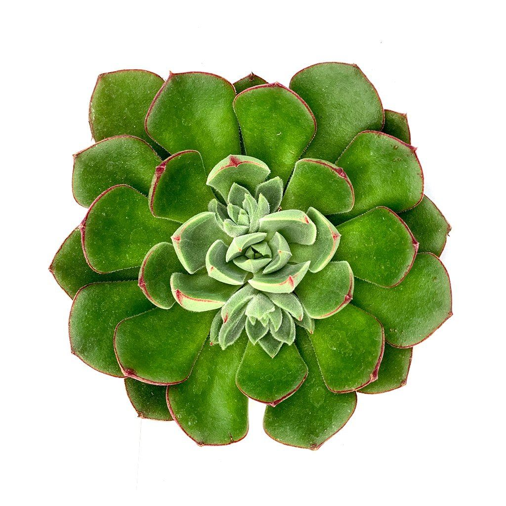 Echeveria 'Green Delight'